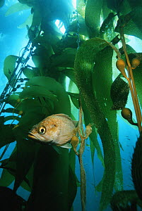 Island kelpfish (Alloclinus holderi) in Giant kelp (Macrocystis pyrifera) forest, California, USA.  -  Georgette Douwma