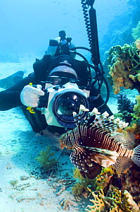 Lionfish (Pterois volitans) being photographed by underwater photographer, Red Sea, Egypt.  -  Georgette Douwma