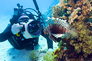 Lionfish (Pterois volitans) being photographed by underwater photographer. Red Sea, Egypt.  -  Georgette Douwma