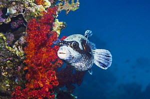 Masked pufferfish (Arothron diadematus). Red Sea,  Endemic  -  Georgette Douwma