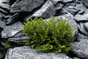 Parsley fern {Cryptogramma crispa} growing in dry stone wall, UK - Adrian Davies