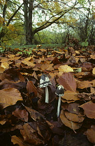 Magpie fungus {Coprinus picaceus} growing amongst leaf litter, UK  -  George McCarthy