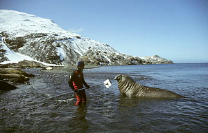 Cameraman Peter Scoones recording Southern elephant seal on location in Stromness Bay, South Georgia, filming for BBC television series ^Life in the Freezer^, February 1993  -  Martha Holmes