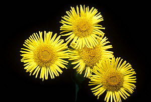 Fleabane flowers {Pulicaria dysenterica} under normal light, sequence 1/2  -  Adrian Davies