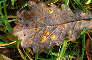 Common spangle galls on oak leaves caused by Spangle gall wasp {Neuroterus quercusbaccarum} Lancashire, UK - Jason Smalley