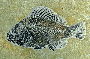 Fish fossil {Priscacara liops} from Eocene period, Wyoming, USA - John Cancalosi
