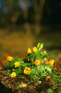 Winter aconites {Eranthis hyemalis} flowering, Glos, UK  -  WILLIAM OSBORN