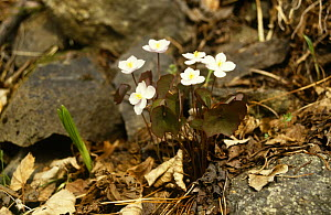 Twinleaf {Jeffersonia dubia} flowering, Ussuriland, Primorski, Far East Russia  -  Yuri Shibnev
