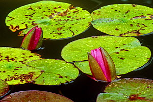 Red water lily {Nelumbo nucifera} buds opening to flower, USA  -  Larry Michael