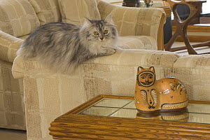 Longhair cat {Felis catus} on sofa with ornament  -  Shattil & Rozinski