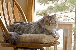 Longhair cat {Felis catus} portrait sitting on chair  -  Shattil & Rozinski