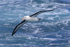 Black-browed albatross (Thalassarche melanophrys) in flight over ocean, Drake Passage, Southern Ocean, Antarctica.  -  Chris Gomersall