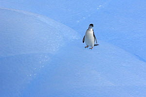 Chinstrap penguin (Pygoscelis antarctica) on blue iceberg. South Orkney Isles, Antarctica. - Chris Gomersall
