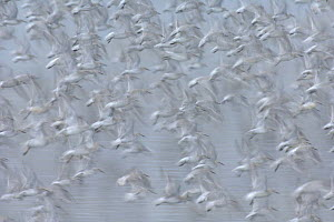 Abstract flock of knot (Calidris canutus) in flight. Snettisham RSPB reserve, Norfolk, England.  -  Chris Gomersall