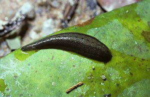 Leech {Haemadipsa zeylanica} engorged with blood after feeding, in rainforest, Thailand  -  PREMAPHOTOS