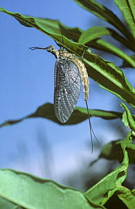 Greendrake / Angler's drake mayfly {Ephemera danica} hanging on to underside of vegetation, UK Note - Sub-imago or dun  -  PREMAPHOTOS