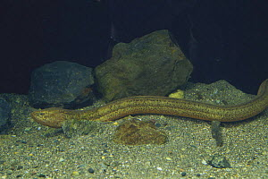 Ricefield / Asian Swamp Eel {Monopterus albus} Japan - Nature Production