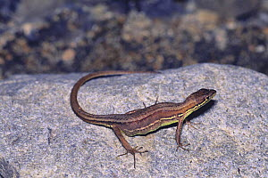 Japanese Grass Lizard {Takydromus tachydromoides} female just after laying eggs, Japan  -  Nature Production
