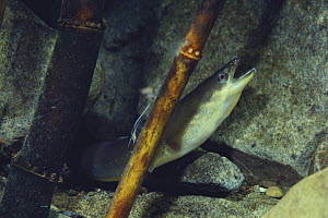Japanese eel {Anguilla japonica} with its mouth open, Japan  -  Nature Production