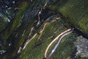 Japanese eels {Aguilla japonica} slithering up waterfall on migration, September, Japan  -  Nature Production