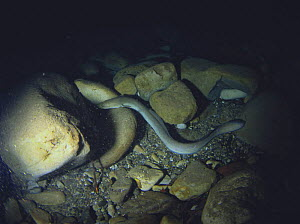 Japanese eel {Anguilla japonica} Koza River, Wakayama, Japan  -  Nature Production