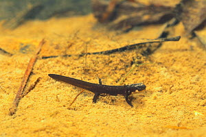 Japanese firebelly newt {Cynops pyrrhogaster} final stage of larva resembling adult, Japan, sequence 6/7  -  Nature Production