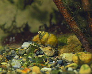 River snail {Sinotaia quadrata histrica} female on river bed, Japan  -  Nature Production
