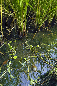 Apple Snail {Pomacea canaliculata} swimming in rice field, Japan - Nature Production