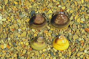 Asiatic Clams {Corbicula fluminea} showing different colour variations, Japan  -  Nature Production