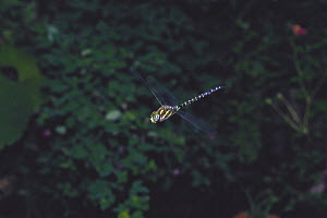 Common Hawker {Aeshna juncea} hovering, Japan  -  Nature Production