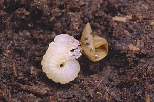 Saw Stag Beetle {Prosopocoilus inclinatus inclinatus} first stage larva, just hatched from egg, Japan, july  -  Nature Production