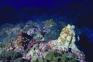 Common Octopus {Octopus vulgaris} mating (female on the right), Hachijo Island, Tokyo, Japan, January - Nature Production