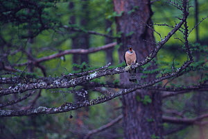 Hodgson's / Horsfield's Hawk-cuckoo {Cuculus fugax} perched in woodland, Mt. Fuji, Japan, May - Nature Production