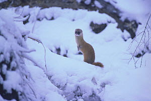 Japanese Weasel {Mustela itatsi} sitting up in snow, Japan, February  -  Nature Production