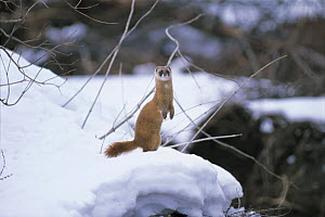 Japanese Weasel {Mustela itatsi} standing up in snow, Japan, February  -  Nature Production