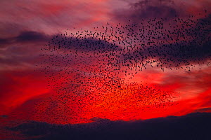 Large flock of White-cheeked / Gray Starling {Sturnus cineraceus} flying back to roost against a blood red sky at sunset, Miyagi, Japan, october - Nature Production