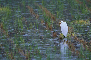 Intermediate Egret {Egretta intermedia} in rice field, Shiga, Japan, November - Nature Production
