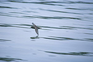 Short-tailed Shearwater {Puffinus tenuirostris} flying low over water, Shizuoka, Japan, May - Nature Production