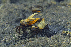 Fiddler Crabs {Uca vocans} fighting, Iriomote Island, Okinawa, Japan - Nature Production