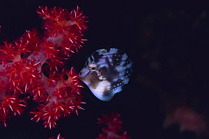 Japanese Inflator Filefish {Brachaluteres ulvarum}  sleeping, gnawing alcyonarian coral {Dendronephthya sp} Oshima, Tokyo, Japan - Nature Production