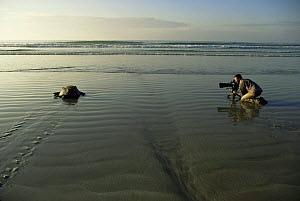 Cameraman Barrie Britton filming female Green Turtle {Chelonia mydas} on her way back to the sea after laying eggs, Quinta Playa, Isabela Is, for tv series on Galapagos, 2006  -  Patrick Morris