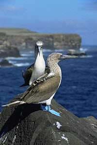 Pair of Blue footed boobies {Sula nebouxii} Espanola Is, Galapagos  -  Patrick Morris
