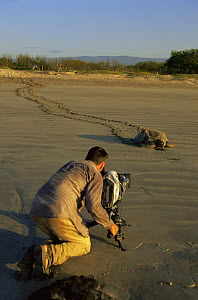 Cameraman Barrie Britton filming female Green Turtle {Chelonia mydas} on her way back to the sea after laying eggs, Quinta Playa, Isabela Is, for tv seires on Galapagos, 2006  -  Patrick Morris