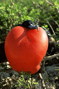 Magnificent frigate bird {Fregata magnificens} male displaying with inflated throat pouch, Genovesa Is, Galapagos  -  Patrick Morris