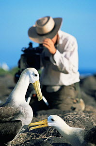 Cameraman Paul Stewart filming pair of Waved albatross {Phoebastria irrorata} Espanola Is, Galapagos  -  Patrick Morris