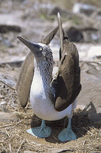 Blue footed booby {Sula nebouxii} courtship display, Espanola Is, Galapagos  -  Patrick Morris