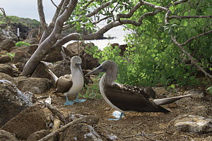 Pair of Blue footed boobies {Sula nebouxii} Daphne Major Is, Galapagos  -  Patrick Morris