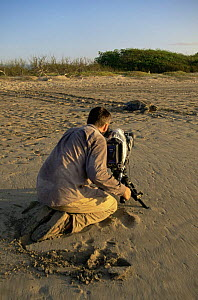 Cameraman Barrie Britton filming female Green Turtle {captivehelonia mydas} on her way back to the sea after laying eggs, Quinta Playa, Isabela Is, Galapagos, 2006  -  Patrick Morris