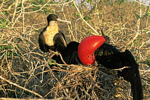 Magnificent frigate bird {Frigata magnificens} pair on nest, male displaying with red throat pouch inflated, Genovesa Is, Galapagos - Patrick Morris