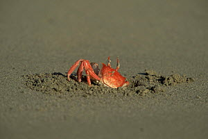 Ghost crab {Ocypode sp} emerging from hole in sand, Isabela Is, Galapagos  -  Patrick Morris